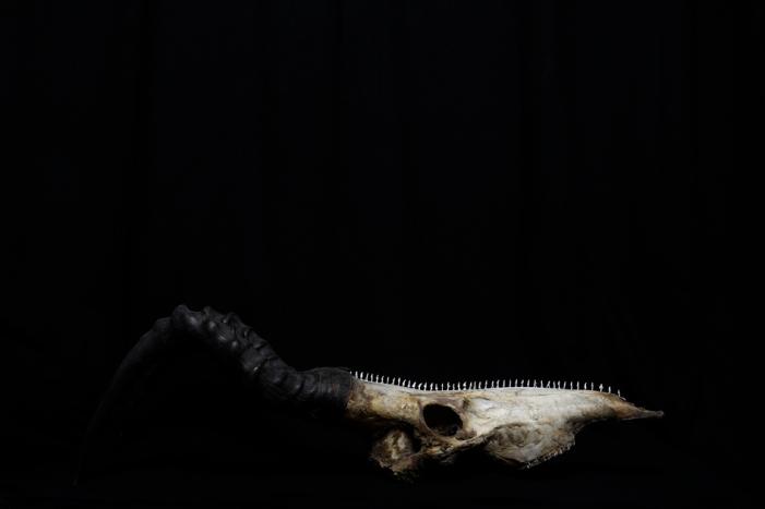 WorldsOfBones-Antelope-1©MagaliLambert